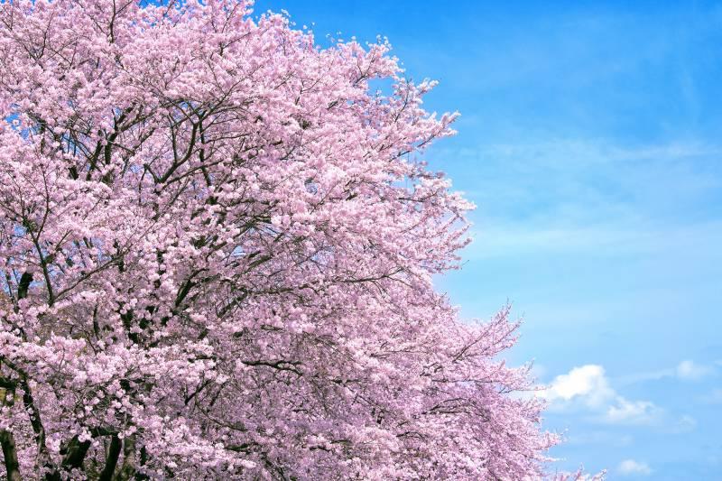 【季節限定】セスナで飛ぶ桜遊覧はいかがでしょうか。